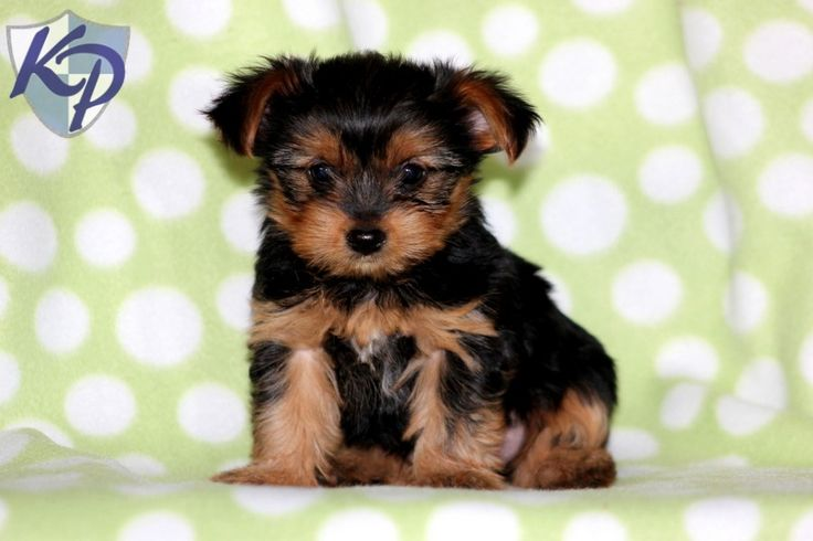 Nugget – Yorkshire Terrier Puppies for Sale in PA | Keystone Puppies