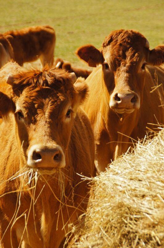 Cows in Bordeaux, France