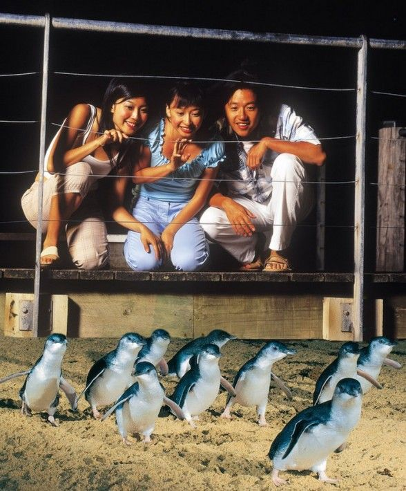 See Penguins at Phillip Island in Victoria, Australia