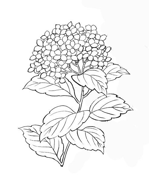 Hydrangea Illustration Free Google Search Drawing