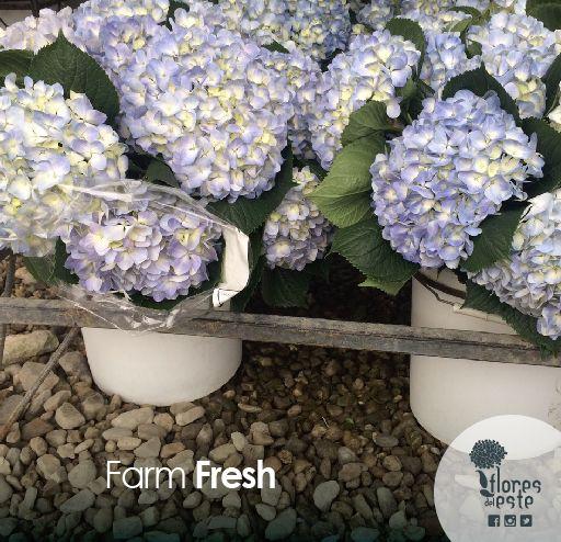 Farm Fresh #hydrangeas #flowers #makeup #pretty #springflowers #perfect #happy #wedding