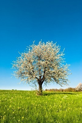 cherry tree muslim singles Nothing is more frustrating than growing a cherry tree that refuses to bear fruit learn more about why cherry tree problems like this happen and what you can do in this article.