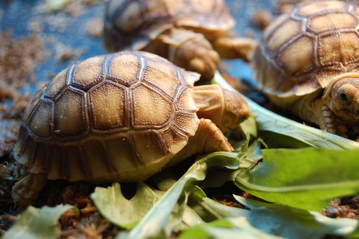 Sulcata Tortoises For Sale | Baby Spur Thigh Tortoises