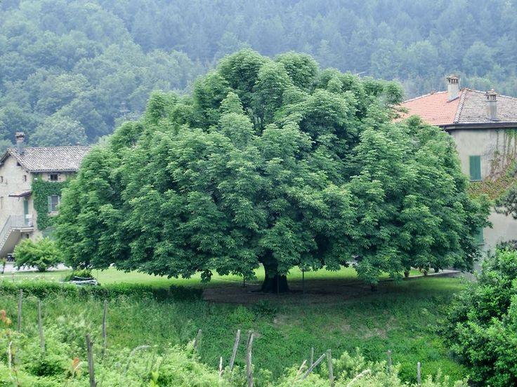 quercia secolare a Roccamalatina (mo