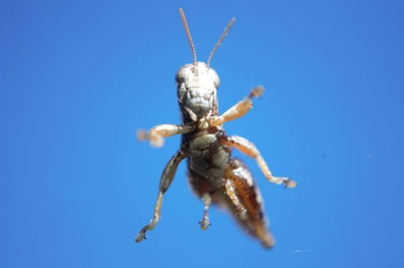 Baby grasshopper on air