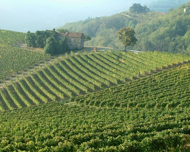 italian wine vineyard<3 Where the good Italian juice that you love is developed.