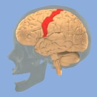 Scientists hypothesize that the brain's primary motor cortex is a major modulator of pain in fibromyalgia.