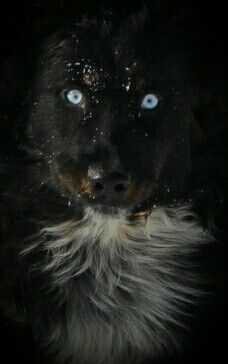 Australian Shepherd ghostly eyes