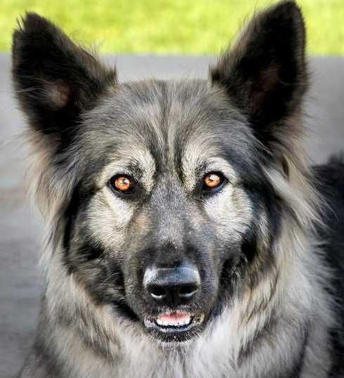 American Alsatian--bred to resemble the extinct dire wolf. This is exactly what the dog I grew up with (Magoo) looked like <3