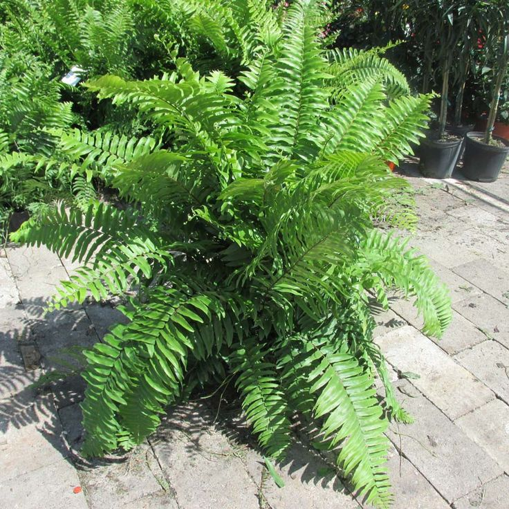 Ferns--they use them in landscaping in Brookings but haven't noticed in SF--why?