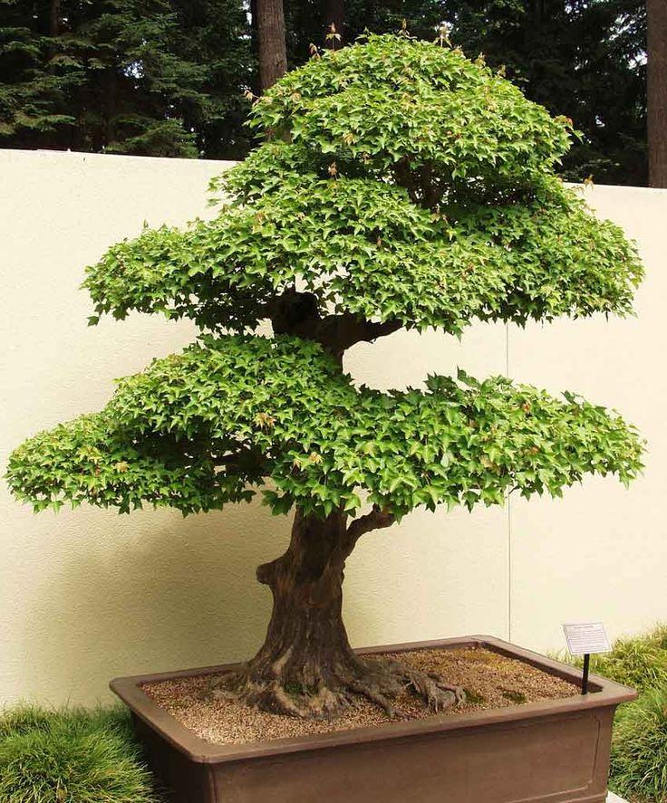 17 best images about bonsai trident maple on pinterest - Arce rubrum bonsai ...