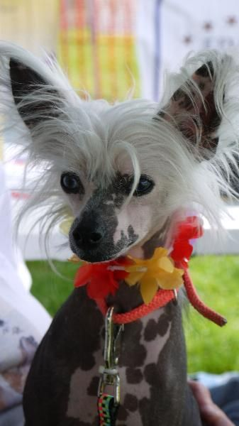 8 Best Chihuahua Chinese Crested Mix Images On Pinterest