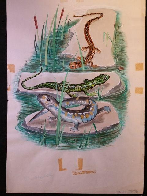 Animals of the Night SALAMANDER Original 1960s Book Illustration Artwork