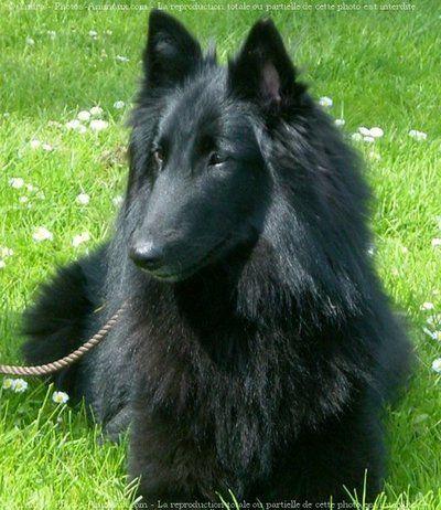 Groenendael - Black Belgian Shepherd                                                                                                                                                                                 Plus