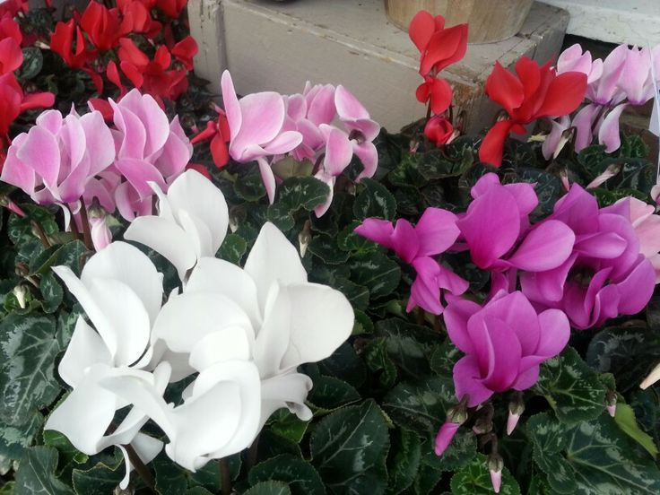 Our beautiful cyclamen