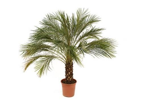 Phoenix roebelinii: Μικρός φοίνικας, κατάλληλος για εσωτερικούς χώρους. Είναι ένα από τα φυτά που η NASA προτείνει για τον καθαρισμό του αέρα του σπιτιού μας!