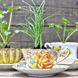 Herb garden in tea cups
