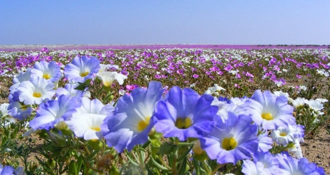 Desierto florido, Atacama, Chile. www.selectlatinamerica.co.uk