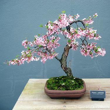 how to grow a cherry bonsai tree from seed