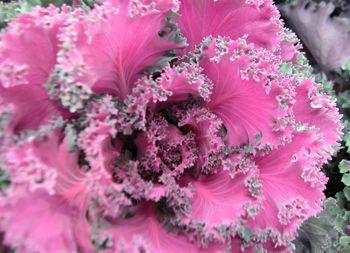 Kukkainfo.fi -> koristekaali