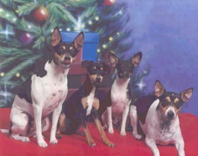 RAT Terrier Information and Pictures, Rat Terriers, Feists (Disney, Freddie, Secret & Penny)