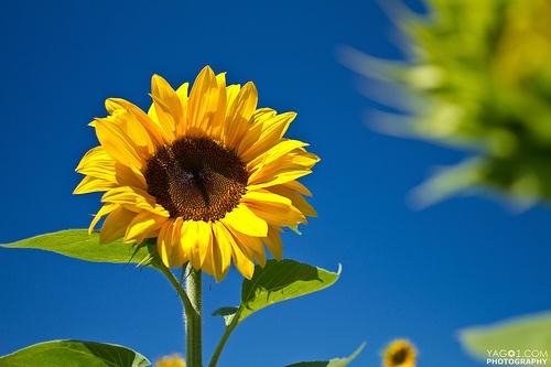 Photo: Sommer Sonnenblume #5