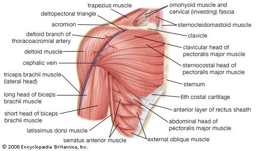 shoulder: human shoulder muscles
