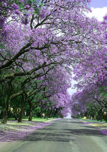 Jacaranda infinity, Pretoria, South Africa (by theresa.brent)