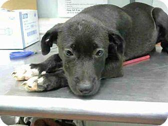💥NO LONGER AVAILABLE 😝Atlanta, GA - Labrador Retriever. Meet GLORIA, a puppy for adoption. http://www.adoptapet.com/pet/16755968-atlanta-georgia-labrador-retriever