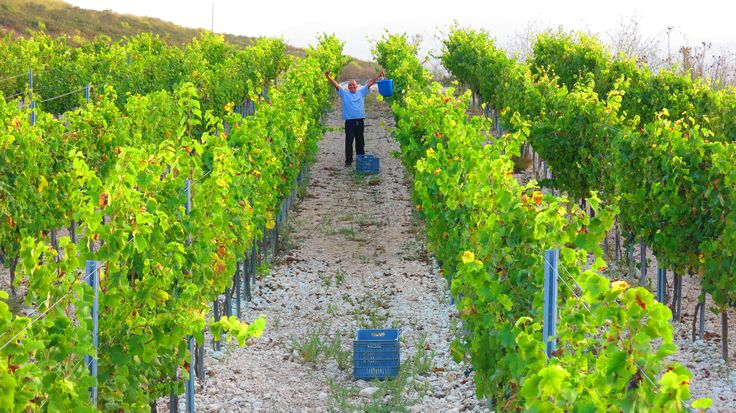 That's the spirit ! Harvesting our organic Mataro grapes