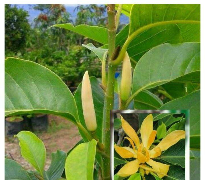 Wow 21 Gambar Bunga Gading Kuning Tanaman Bunga Kantil Kuning Kantil Putih Mustika Kembang Gading Jual Tanaman Hias Sirih Gading Sr Di 2020 Tanaman Bunga Flamboyan