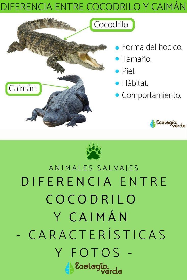 Diferencia Entre Cocodrilo Y Caimán Características Y Fotos Cocodrilo Caimán Animales Salvajes
