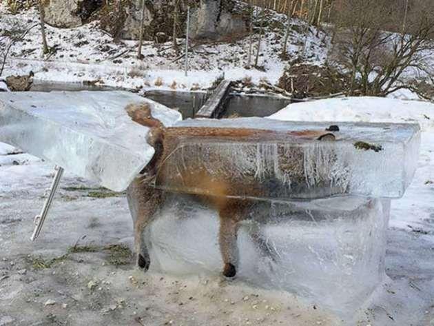 Cazador halla bloque de hielo con zorro atrapado dentro | nayaritenlinea.mx
