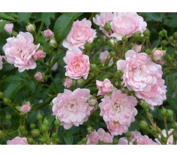The Fairy roos is een compacte, rijk bloeiende heesterroos. De roze bloemenpracht heeft een betoverend uitzien.
