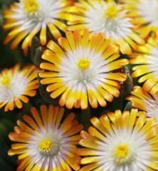 Delosperma ´JEWEL OF DESERT TOPAZ´ ®