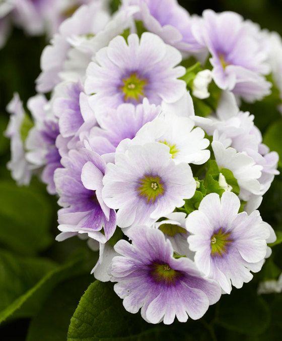 Primula Touch Me 'Blue White'  Deze bijzondere sleutelbloemen (Primula obconica Touch Me Series) hebben uniek gekleurde bloemen die een prachtige uitstraling hebben. Bovendien staat de heldergroene bladkleur zeer fraai bij de mooie kleuren en kleurcombinaties van de bloemen welke steeds donkerder en intenser worden naarmate ze ouder worden. Dit geeft een prachtig effect samen met de jonge bloemen! Ze bloeien maandenlang en dat van de winter tot in het voorjaar en zijn eenvoudig te verzorgen…