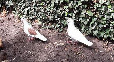 gratis 1 jarige witte duiven