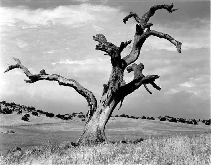 Ansel Adams Tree Prints | Dead Oak Tree, Sierra Foothills by Ansel Adams