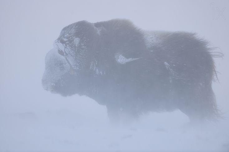 1X - Portrait of Musk ox fighting a winter snow blizard by Yves Adams