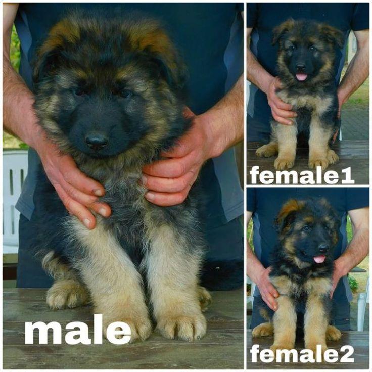 Super Longcoat German Shepherd Puppies In Germany 7 In 2020 German Shepherd Puppies Shepherd Puppies English Lab Puppies