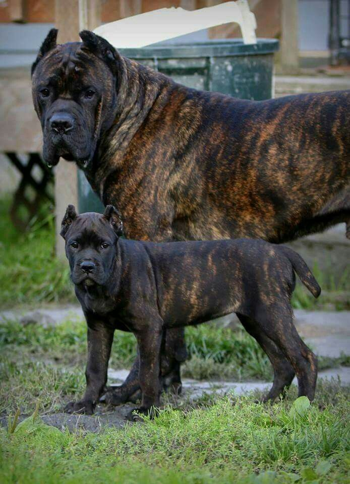 Italian English Animsld: Italian Mastiff Breeder,cane