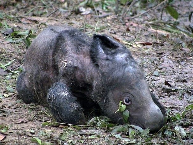 The Sumatran rhinoceros (Dicerorhinus sumatrensis) is the only extant rhino belonging to the genus Dicerorhinus, and of the extant rhinos, is perhaps the most basal. That is to say, it most resembles its prehistoric ancestors from the Miocene. It's also the smallest of the surviving rhinos, making it the cutest. Size is inversely proportional to cuteness according to all the mathematicians, you know.