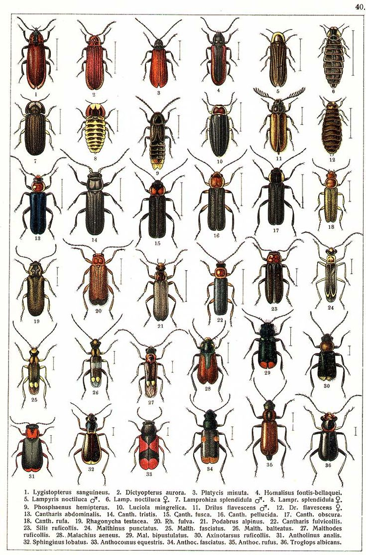 84 best gg yakobson 1905 1915 beetles of russia images on gg yakobson 1905 1915 beetles of russia biocorpaavc Images