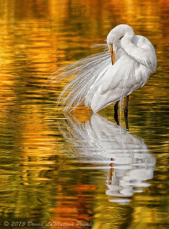 Incredible shot of a snowy egret in golden water