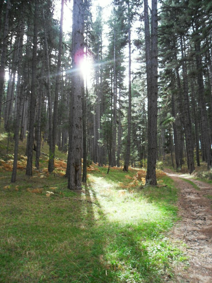 A typical wood in Calabria's Mountain (Sila Uplands, where there's a great National Park). The most common tree in these woods is a kind of pine called Pinus Nigra Laricio Calabrica, an autchton pine.