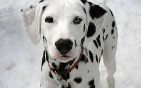 Image result for dalmations
