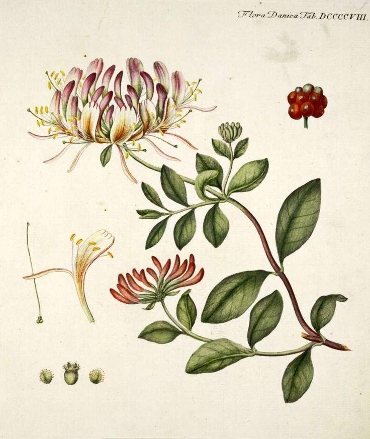 Lonicera Periclymenum, Known as Common Honeysuckle, European Honeysuckle or Woodbine.
