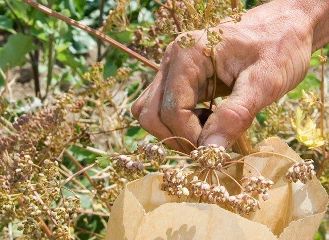 Au potager : récolter et conserver les graines des légumes et plantes cultivées