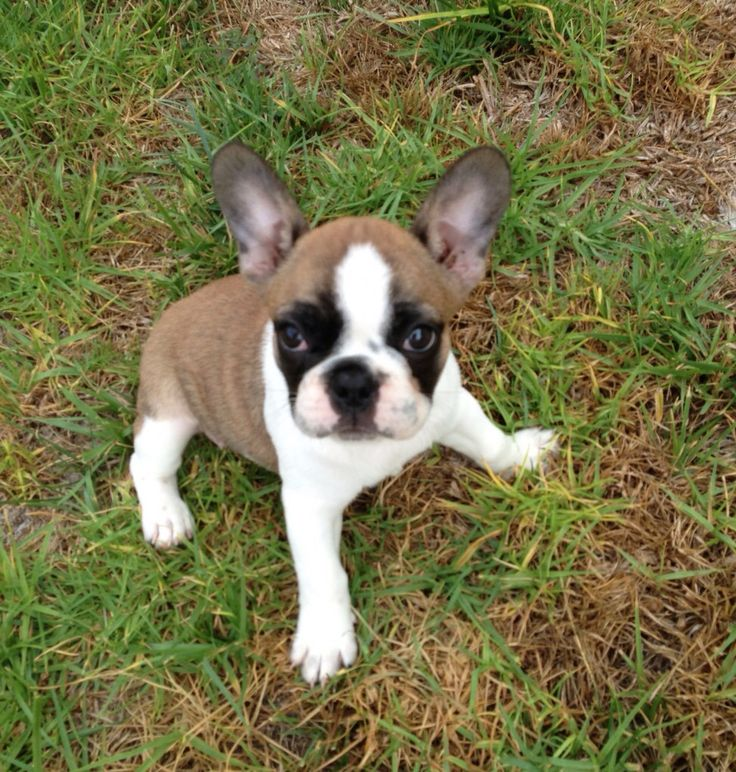 french bulldog california 17 best ideas about french bulldog rescue on pinterest 9495