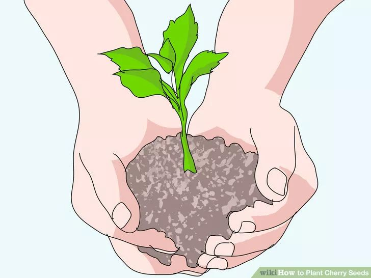 Image titled Plant Cherry Seeds Step 1